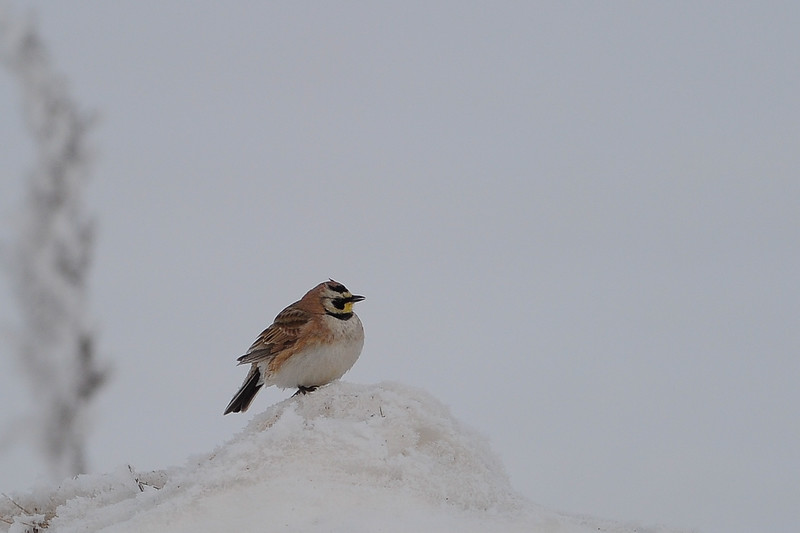 This is a Horned Lark sitting along the road in the thick mist or fog