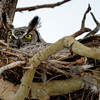 This is the Mom of family #1...she is on the nest so there must be eggs in the nest...she never leaves