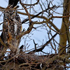 This is Great Horned Owl Family #1...she is on the nest you can see her ear sticking out just below the male