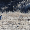 Blue Heron just outside of Fernie BC