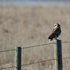 mr short eared owl on the hunt for supper