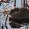 saw quite a few muskrats in ponds along the road.....this fellow was having supper to