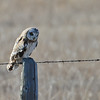 another short eared owl looking and looking