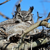 Great Horned Owl baby sitting