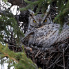 this is the Mom of another Great Horned nest with very small owlets in the nest