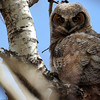owlet #2 out of the nest