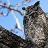 1 adult GH Owl