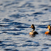 a pair of Eared Grebe's