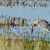 Great Blue Heron with morning breakfast...I think its a salamander...