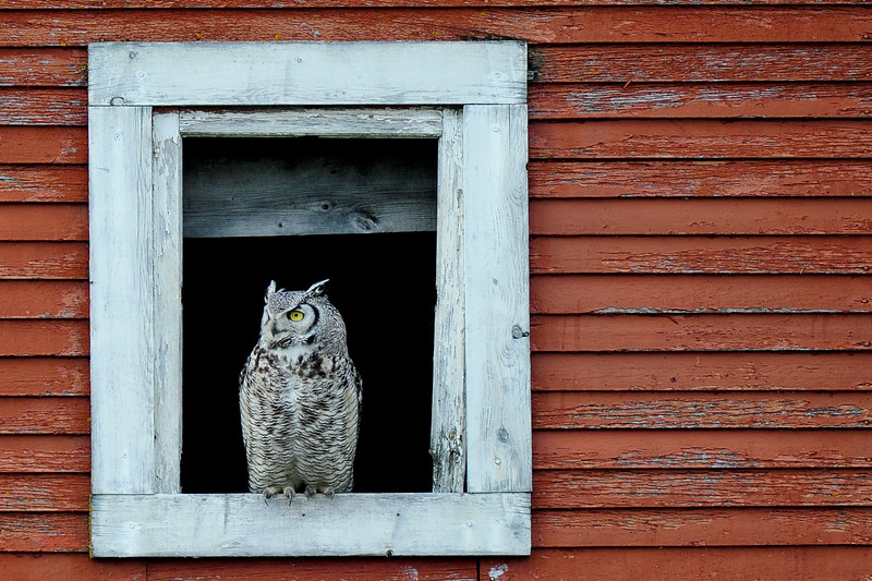 This Owl family lives close to old red barn and likes to perch in the window
