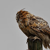 This adult GH Owl stands guard rain or shine.....and its raining