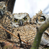 Can you be wet and happy......don't think so by the looks of the owlets