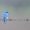 Mountain Blue Bird - Male