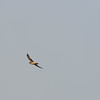 i have to thank my friend Larry for calling me to go out to get these next pictures of the Northern Harrier.