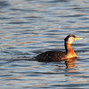 a lone Grebe in the setting sun