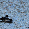 Common Loon.....1 on guard the other sleeping