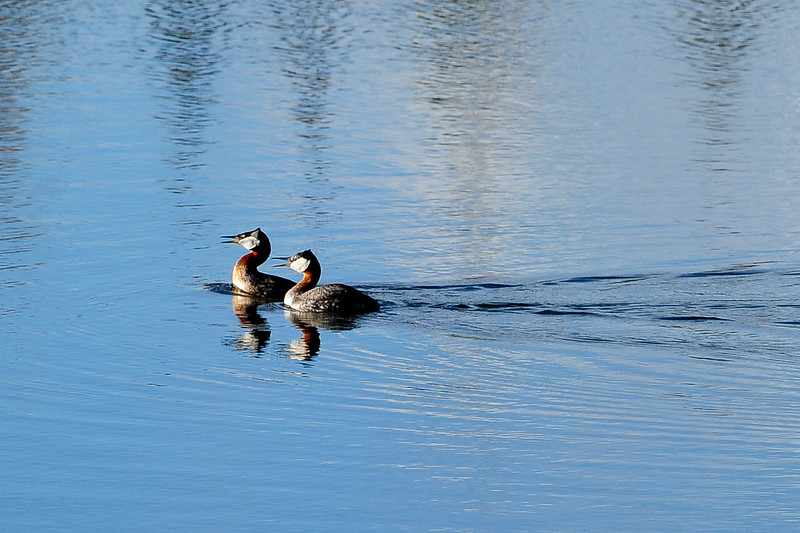 a pair of Grebe's