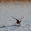 this is not a Loon .....its just taking off and trying to get air borne