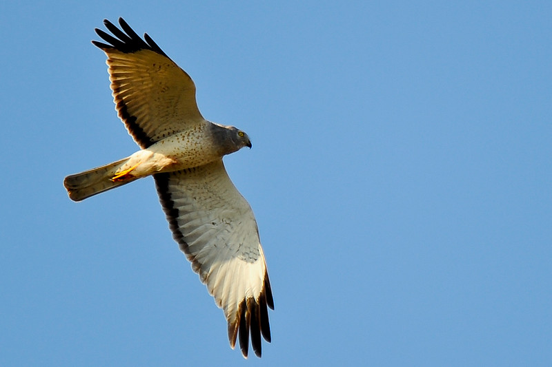 Female Northern Harrier also known as a Marsh Hawk.  This family is nesting in a pond not far out of Calgary