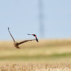 The hawks are great low level flyers but always being chased.....here by a red winged black bird