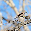 The Northern Flicker Family