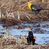Red Wing Black Bird with a Yellow Headed Black Bird in the shadows