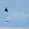 Hawk 1 & Hawk 2...crusing