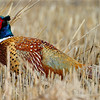 Ring Neck Pheasant Prize Shot of the day....