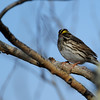 Savannah Sparrow dropped by to have a look at us taking pictures