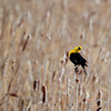 Yellow Headed Black Bird doing its song.....they move their heads about 160' when they sing their funny song