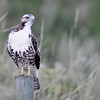 """I think this maybe a Ferruginous Hawk....if it is...its the first one I have been able to take a picture of....<br /> This looks like a juvenile light morph from what I can find in my books<br /> I could be wrong on the identity...I have been before..<br /> <br /> this link gives you some good info on the Ferruginous Hawk:<br />  <a href=""""http://www.abheritage.ca/abnature/speciesatrisk/hawk_intro.htm"""">http://www.abheritage.ca/abnature/speciesatrisk/hawk_intro.htm</a>"""