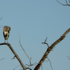 This Heron was in a tree across the river at Beaver Dam Flats