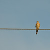 A lonely Kestrel looking for supper