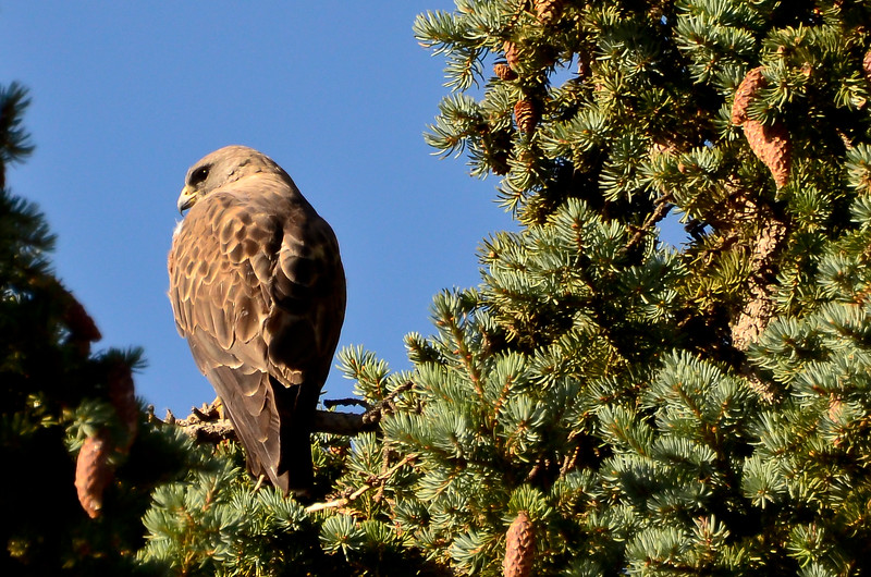 this is one of the baby market hawks that I followed...I went by today and it was sitting in the nesting tree