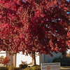 Red Maple at SOREC