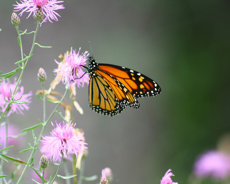 "St. Croix National Scenic Riverway: Jourdyn, 17 - ""Monarch on Pink Flower"""
