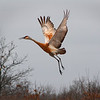 "Crex Meadows State Wildlife Area: Mike, 16 - ""Flying Crane"""