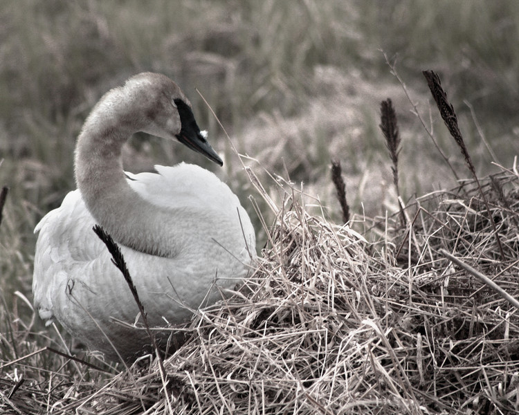 "Crex Meadows State Wildlife Area: Mike, 16 - ""Swan Sits Silently"""