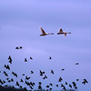 "Crex Meadows State Wildlife Area: David, 16 - ""Swans with Redwing Blackbirds"""