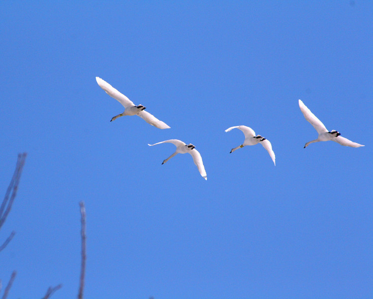 """St. Croix National Scenic Riverway: JJ, 16 - """"A Pack of Swans"""""""