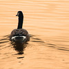 "Crex Meadows State Wildlife Area: Mike, 16 - ""Goose in Warm Water"""