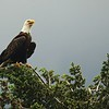 Panting Bald Eagle on a Hot Day