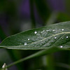 "St. Croix National Scenic Riverway: Clayton, 17 - ""Drops on a Leaf"""
