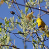 """St. Croix National Scenic Riverway: Kyle, 17 - """"Yellow Warbler"""""""