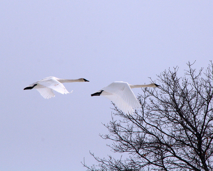 """St. Croix National Scenic Riverway: Cole, 16 - """"Cruising Swans"""""""
