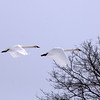 "St. Croix National Scenic Riverway: Cole, 16 - ""Cruising Swans"""
