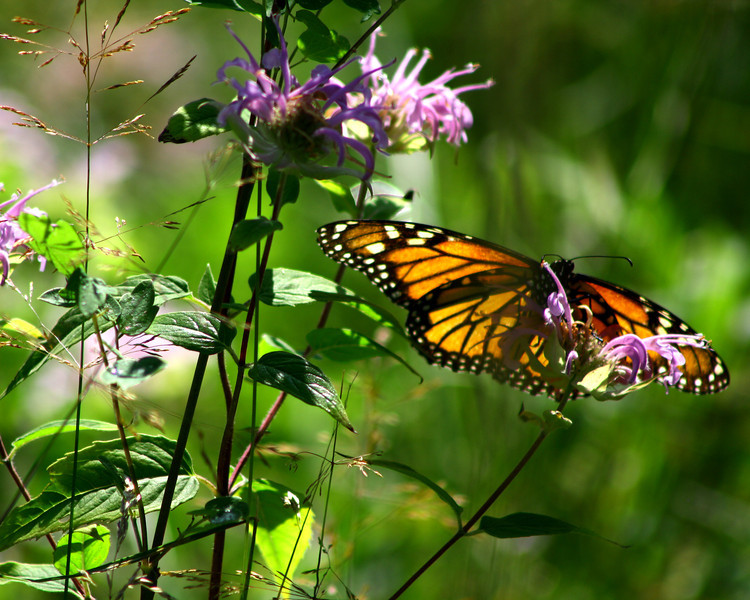 """St. Croix National Scenic Riverway: Wali, 16 - """"Butterfly"""""""