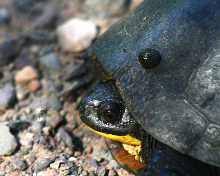 """St. Croix National Scenic Riverway: Hunter, 16 - """"Blandings Turtle, Leach, and Mosquito"""""""