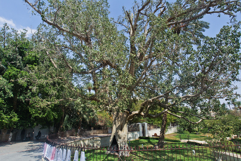 An old sycamour tree supposedly 2,000 years old (Luke 19: 1-4)