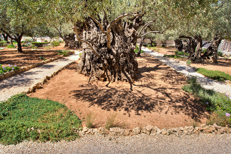 Supposed 2,000 year old olive trees in this traditional site across the Kidron Valley.